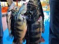 Pesca do Tucunaré no Hotel Fazenda Foz do Marinheiro